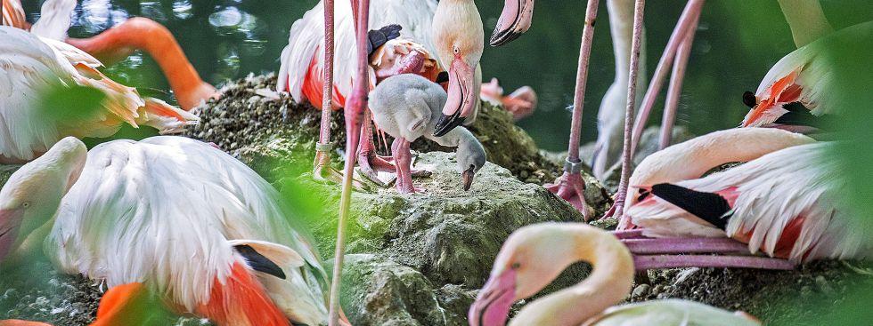 Flamingo-Küken im Tierpark Hellabrunn