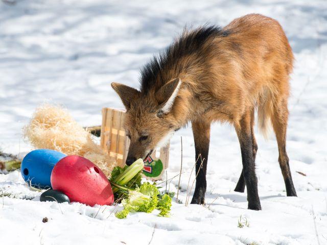 Mähnenwolf mit Ostergeschenk im Tierpark Hellabrunn, Foto: Tierpark Hellabrunn / Marc Müller