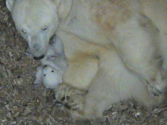 Das Eisbär-Baby und Mama Giovanna in Hellabrunn., Foto: Tierpark Hellabrunn