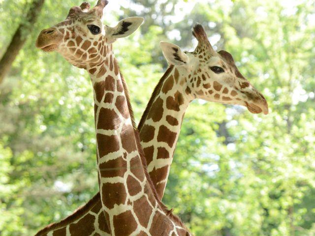 Die Hellabrunner Giraffen Bahati und Naledi., Foto: Tierpark Hellabrunn