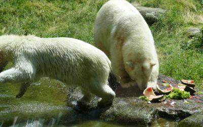 Die Eisbären in Hellabrunn.