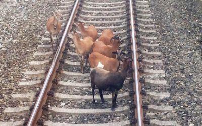Kamerunschafe auf den S-Bahngleisen bei Gröbenzell