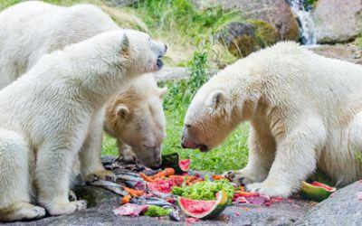 Die Eisbären-Zwillinge Nela und Nobby mit ihrer Mutter Giovanna