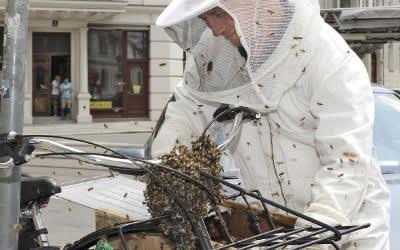 Ein Bienenschwarm wird eingesammelt